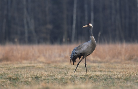 """Grus grus""  Marek Szczepanek - Creative Commons Attribution-Share Alike 3.0 via Wikimedia Commons"
