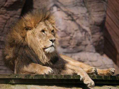 Lion by William Warby https://www.flickr.com/photos/wwarby/ (CC BY 2.0)